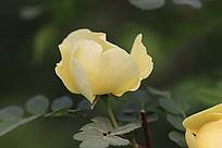 一朵正欲开放的淡黄色花朵