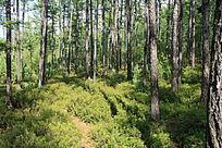 呼伦贝尔树林
