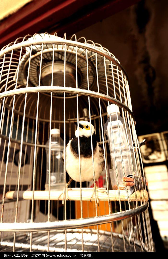 笼中相思鸟图片