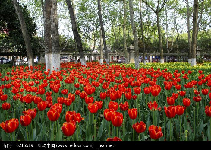 荷兰郁金香图片