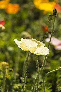 淡黄色虞美人花朵