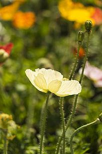 淡黄色虞美人花卉