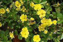 采蜜中的蜜蜂
