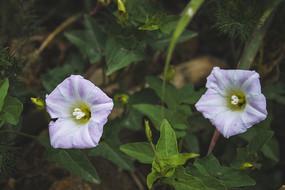 两朵淡紫色牵牛花