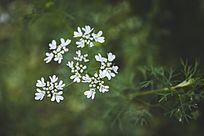 香菜的白色花朵