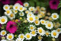 纯美的白菊花雏菊