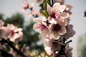 唯美粉色樱花高清摄影