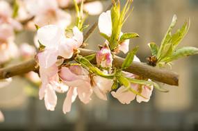 唯美清新粉色樱花植物高清摄影
