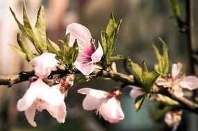 唯美清新粉色樱花植物含苞待放高清摄影