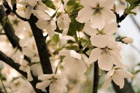 唯美樱花花语高清摄影