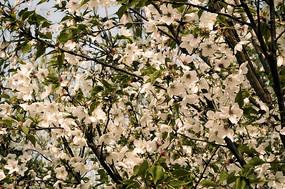 唯美樱花花语含苞待放高清摄影