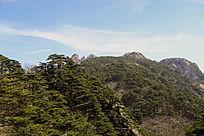 黄山美景松树林