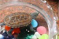 玻璃缸中的小乌龟