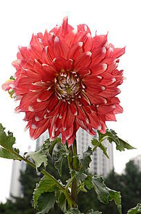 红色大丽菊
