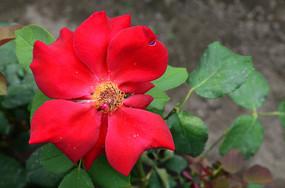 红艳欲滴的月季花
