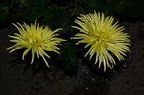 黄香梨菊花