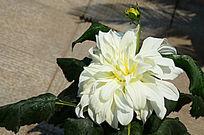 娇艳的大丽菊