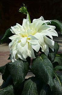洁白的大丽菊