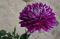 朴实无华的大丽菊