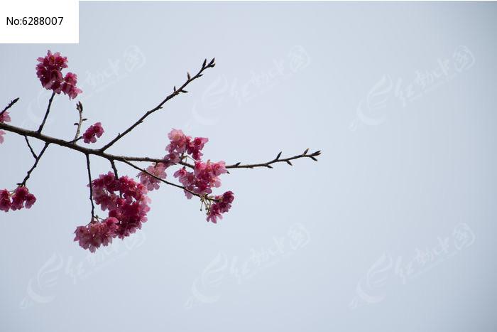 日本樱花图片
