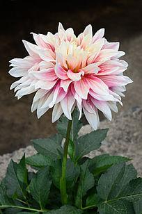 鲜艳的大丽菊