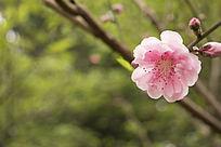 阳光沐浴下桃花