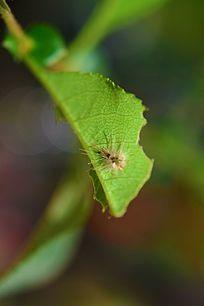 叶子上的小虫