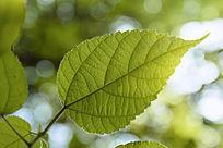 一片黄绿色的叶子