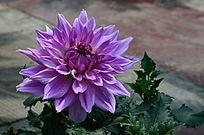 紫色的大丽菊