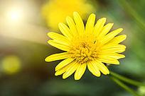 美丽的雏菊花