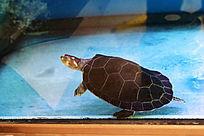 水中的乌龟