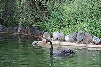 一只黑天鹅与两只海龟