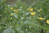 黄色棣棠花