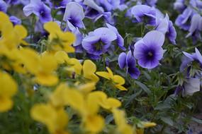 蓝色花朵黄色花朵三角构图