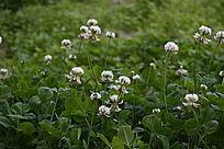 绿色草丛白色花朵