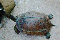 抬头的乌龟