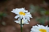 盛开的白色菊花和一只采蜜的小蜜蜂