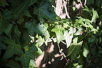 阳光里的绿色藤蔓植物