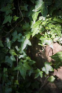 阳光照射的绿色藤蔓植物