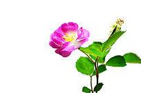 一枝盛开的蔷薇花,纯色背景