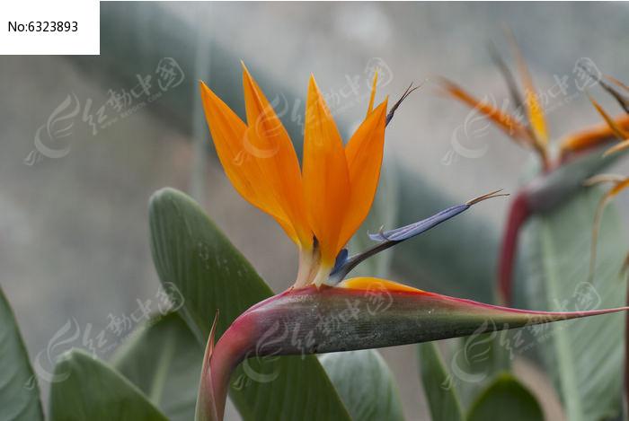 望鹤兰花图片