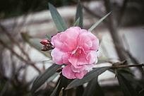 一朵盛开的粉色小花朵