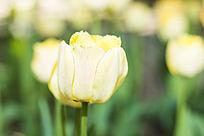 黄春绿郁金香花朵