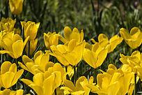 黄普瑞斯玛郁金香花朵