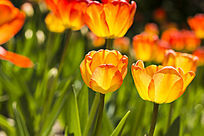 几朵淡黄色郁金香