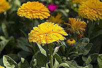 金盏菊花朵