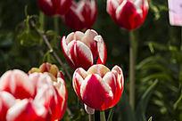 利奥维瑟郁金香花朵