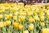 梦幻黄色郁金香花丛