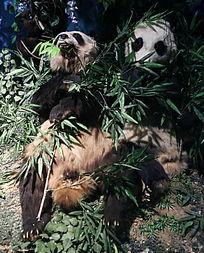 濒危动物大熊猫的标本