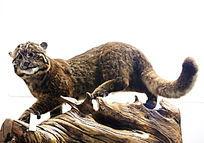 濒危动物金猫的标本
